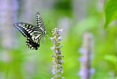 Papilio xuthus linnaeus 免版税库存图片