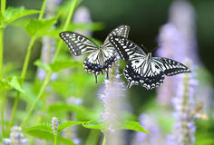 Papilio xuthus linnaeus Royalty Free Stock Photos