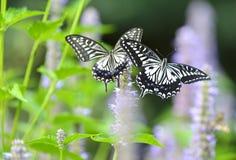 Papilio xuthus linnaeus