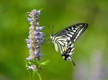 Papilio xuthus linnaeus 免版税库存照片