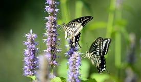 Papilio xuthus linnaeus Stock Photo