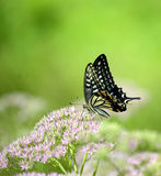 Papilio xuthus linnaeus Stock Images