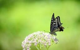 Papilio xuthus linnaeus Royalty Free Stock Photography