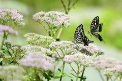 Papilio xuthus linnaeus Stock Photography