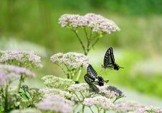 Papilio xuthus linnaeus Royalty Free Stock Image