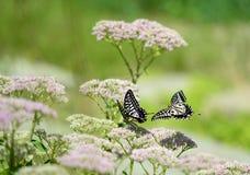 Papilio xuthus linnaeus Royalty Free Stock Photo