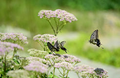 Papilio xuthus linnaeus Royalty Free Stock Images