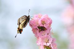 Papilio xuthus. The Papilio xuthus on pink flowering plum royalty free stock images