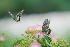 Papilio xuthus. Two Papilio xuthus are flying over the Albizia flowers royalty free stock photos