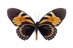 Papilio zagreus bachus (underside) Royalty Free Stock Photography