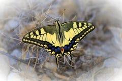 Papilio zelicaon Stock Image