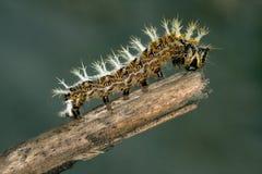 Papilionidae毛虫在顶头分支的 库存照片