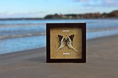 Papilionidae Obrazy Royalty Free