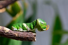 Papilionidae caterpillar Royalty Free Stock Images