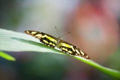 Papilionidae Stock Photo