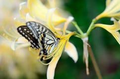 Papilionidae and Lycoris rubroaurantiaca. Royalty Free Stock Image