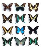 Papilionidae, Papilio (painel) Fotos de Stock