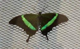 Papiliopalinurus op het net royalty-vrije stock foto