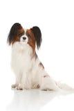 papillion собаки Стоковая Фотография