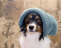 Papillion in beanie. In front of a sofa Royalty Free Stock Photo