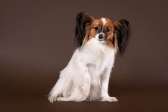 Papillion dog. Papillion young dog on dark brown background Royalty Free Stock Photography