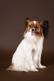Papillion dog. Papillion young dog on dark brown background Royalty Free Stock Photos