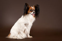 Papillion dog. Papillion young dog on dark brown background Stock Photos