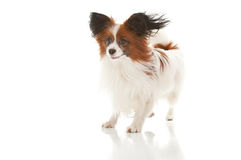 Papillion dog Royalty Free Stock Images