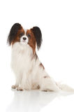 Papillion dog Stock Photography