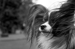 Papillion dog enjoying the park - Black and White. A young adult male papilion dog is enjoying the wind blowing through the park, catching the long hair on his Royalty Free Stock Photography