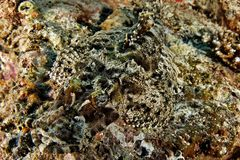 Papilloculiceps longiceps - Crocodile fish Royalty Free Stock Images