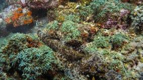 Papilloculiceps longiceps di Crocodilefish - mimetismo perfetto sul fondo di corallo La Papuasia Niugini, Indonesia fotografie stock