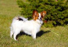 Papillon在一棵绿色云杉前面的街道上站立 摆在草的美丽,白色狗 免版税库存图片