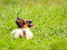 Papillon在绿草说谎 与一个红色头和蓬松耳朵的白色可笑的狗 免版税库存图片