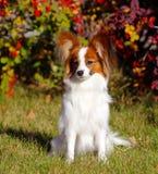 Papillon坐街道在秋天背景中 摆在绿草的美丽,白色狗 免版税库存照片