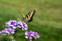 Papillon à deux queues de machaon Photos libres de droits