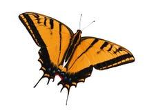 Papillon à deux queues de machaon d'isolement sur le blanc Changement de couleur à l'orange photo libre de droits