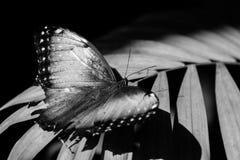 Papillon été perché noir et blanc Image libre de droits