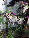Papillon étroit Image stock