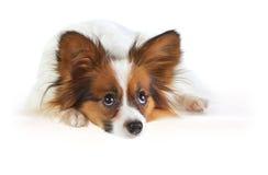 papillon собаки Стоковая Фотография