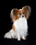 papillon собаки Стоковые Изображения
