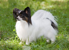 Papillon. Portrait of Young dog of breed papillon stock image
