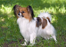 Papillon. Portrait of Young dog of breed papillon royalty free stock photo