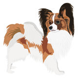 Papillon Royalty Free Stock Images