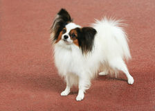 Papillon Royalty Free Stock Photo