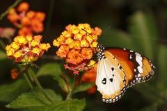 Papillon 9 Image stock