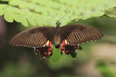 Papillon 4 Photos stock