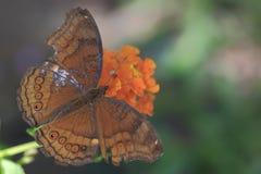 Papillon 5 Photos stock