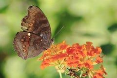 Papillon 6 Image stock