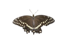 Papillon. Images stock